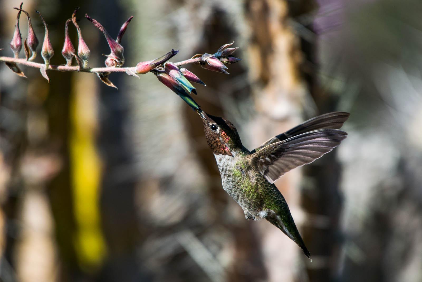 Un colibrí libando una flor