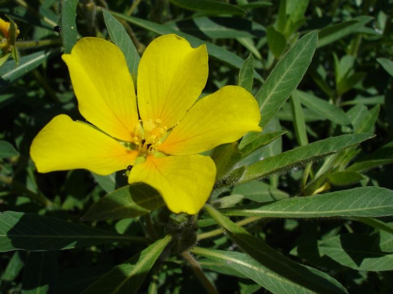 Ludwigia_hexapetala on Parts Of A Seed