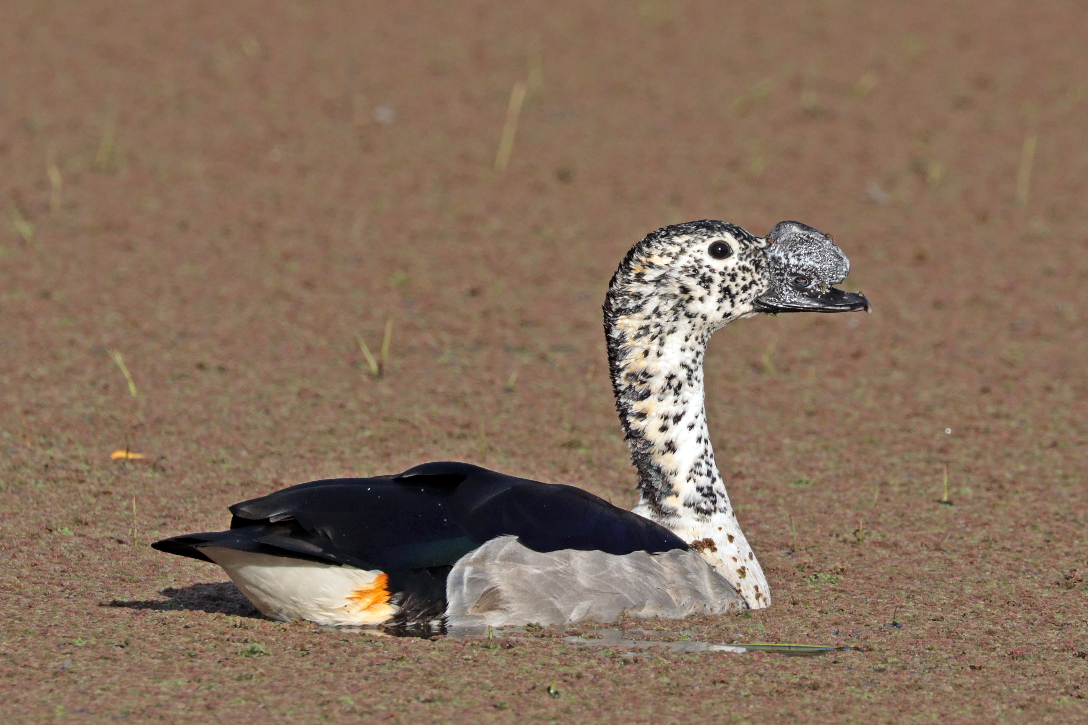 Underbar Knob-billed duck - Wikipedia FM-97