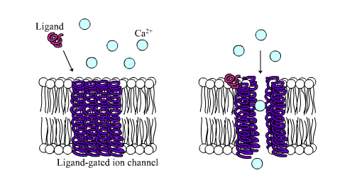 Ligand-gated calcium channel in closed and open states LGIC.png