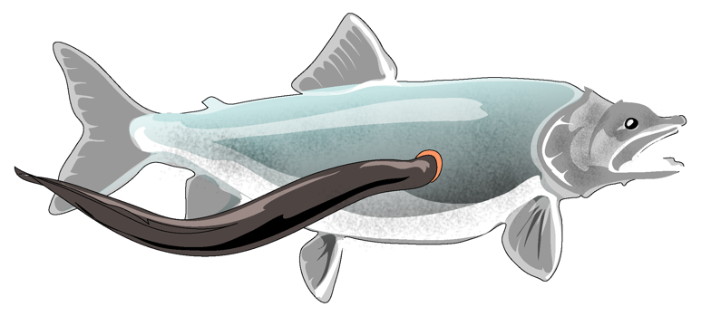 File Lamprey Attached Png Wikimedia Commons