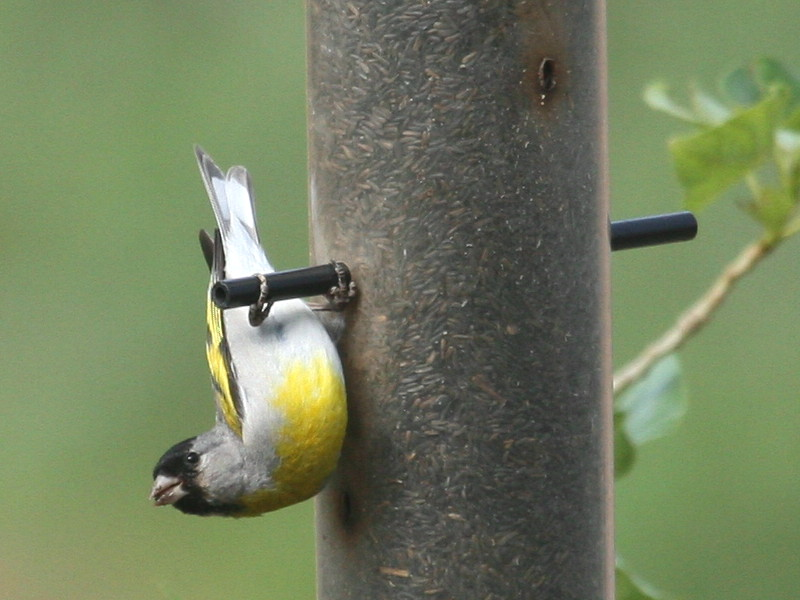File:Lawrence Goldfinch.jpg