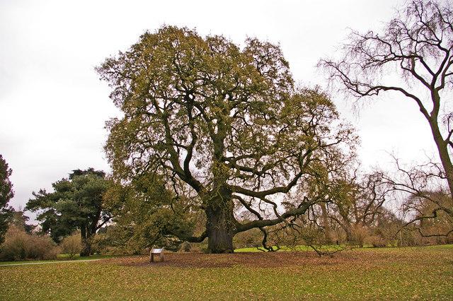 File:Lucombe Oak (Quercus x hispanica 'Lucombeana' ) - geograph.org.uk - 1186259.jpg