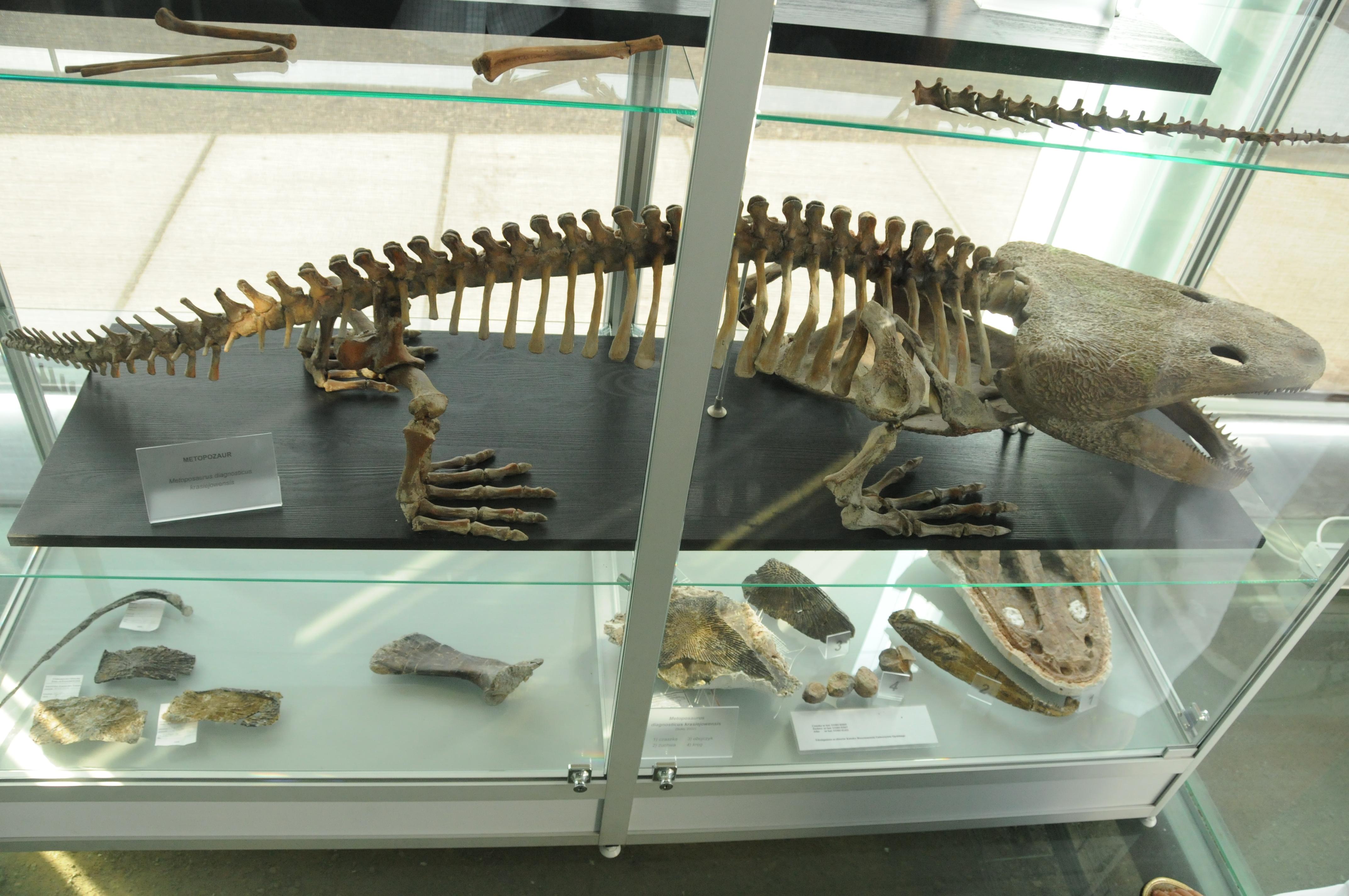 Skeleton of Metoposaurus diagnosticus krasiejowensi in the Krasiejów museum in Poland