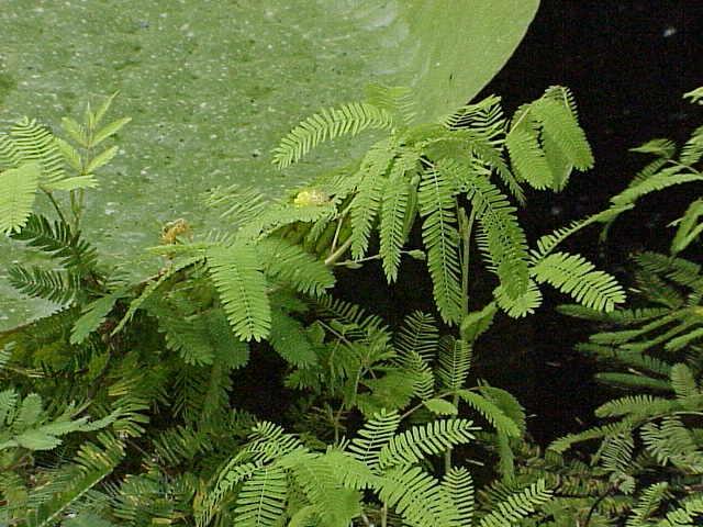 File:Neptunia oleracea0.jpg
