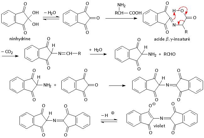 Réaction de la ninhydrine avec les acides aminés