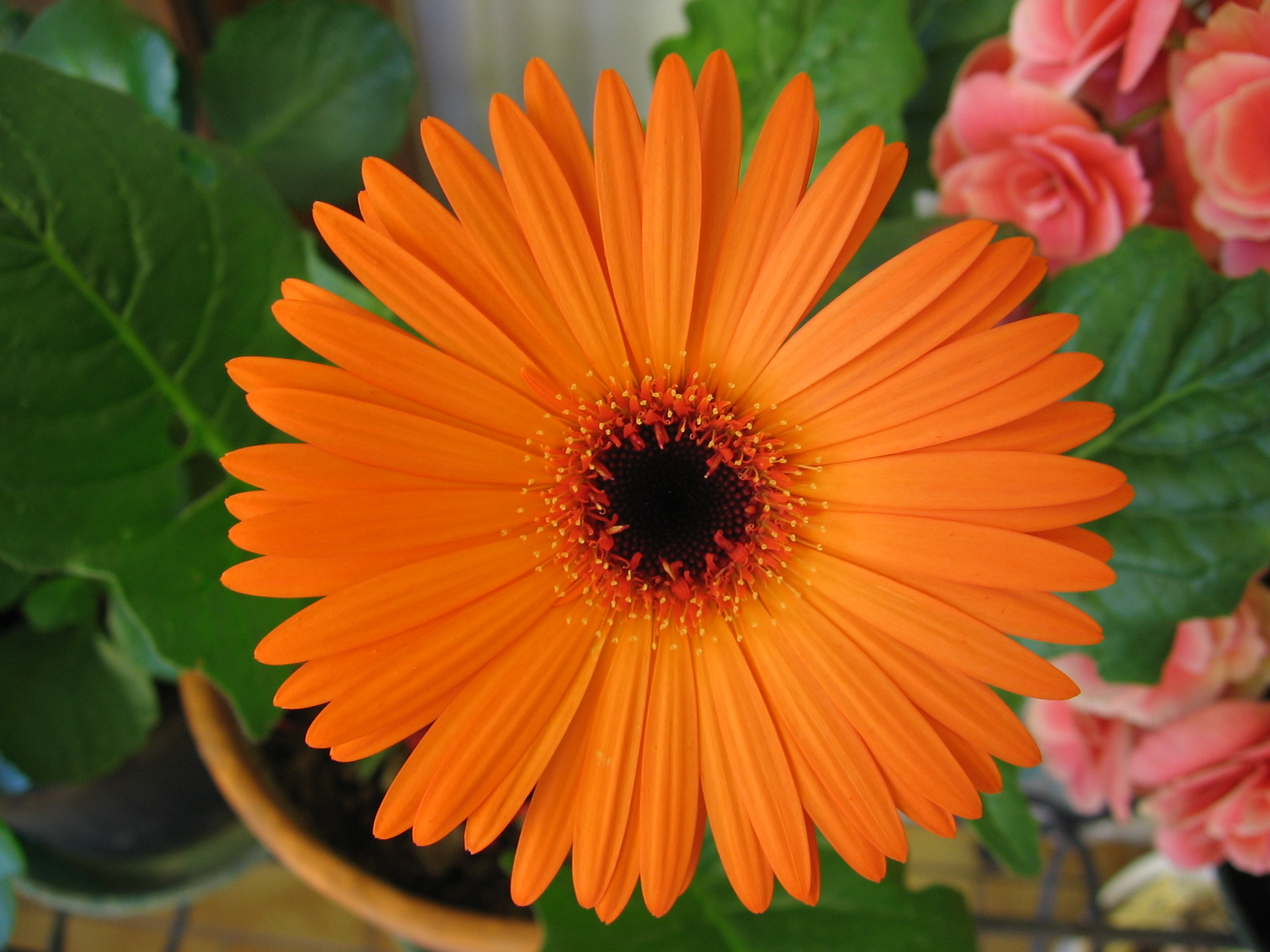Fichier orange wikip dia for Les noms de fleurs