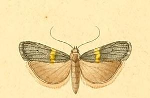 <i>Oxybia</i> genus of insects
