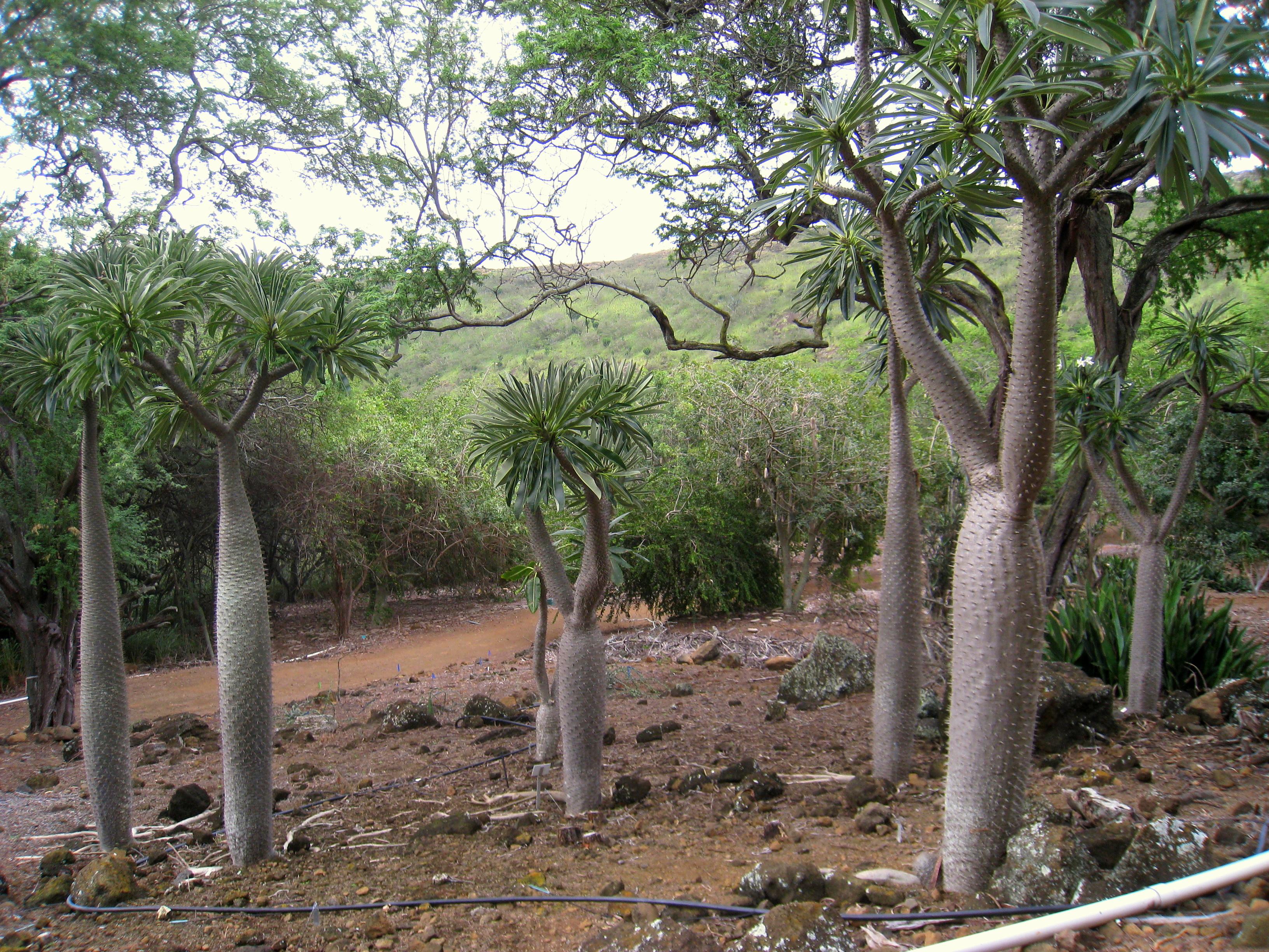 File Pachypodium Lamerei Var Ramosum Koko Crater Botanical Garden Img 2273 Jpg Wikimedia