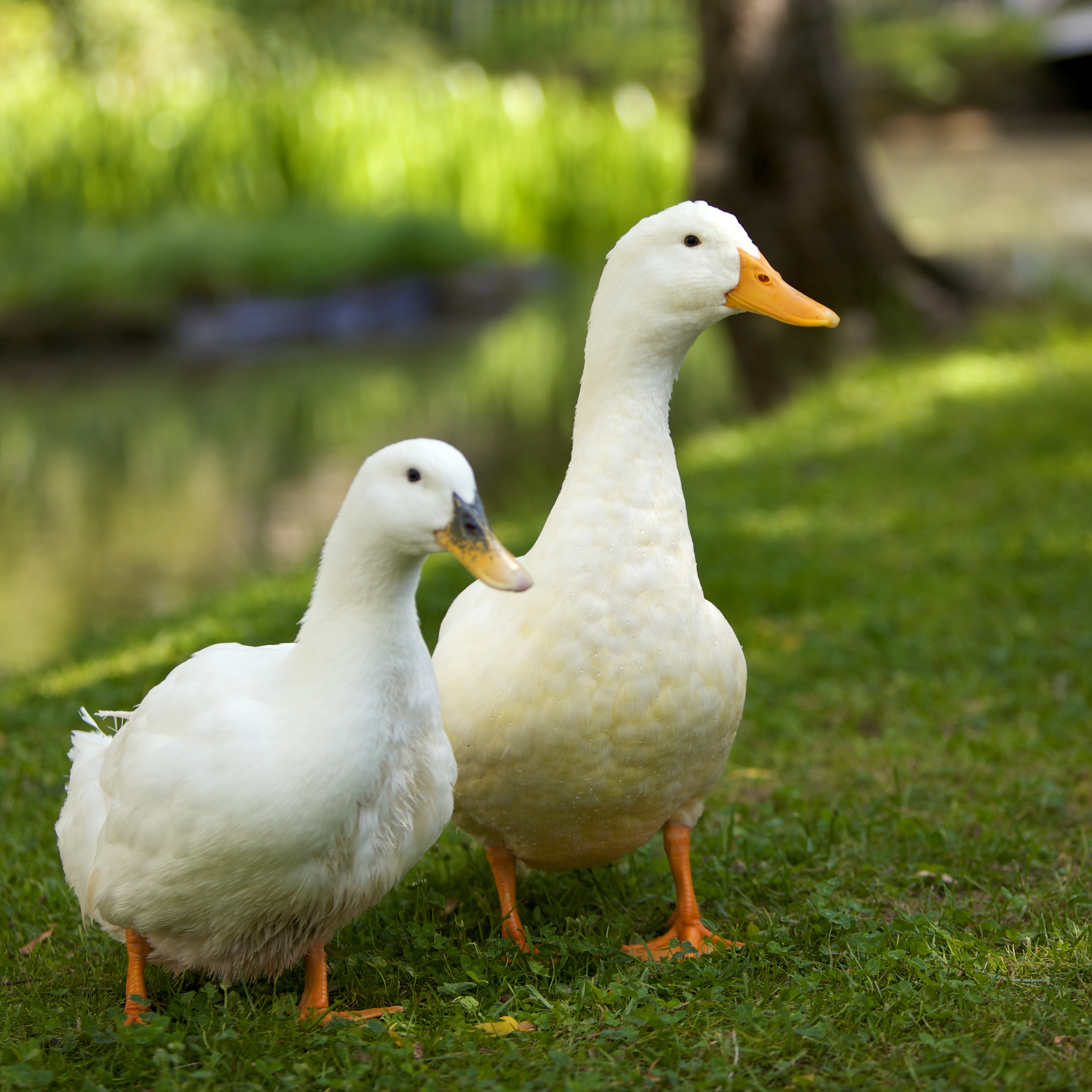 Pictures Ducks 42