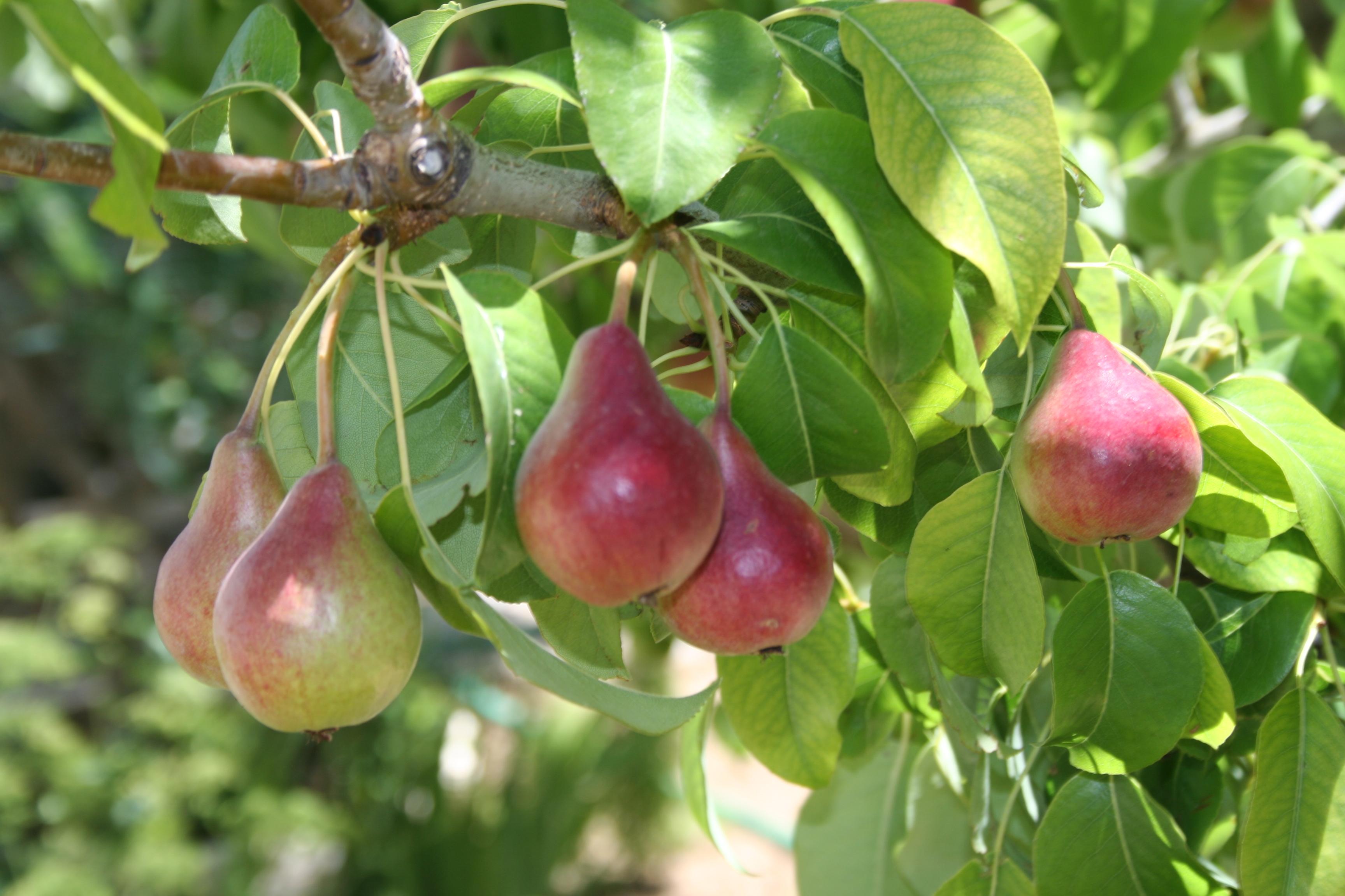 Cultivo de frutales tipos de arboles frutales for Arboles de hoja caduca y perenne nombres