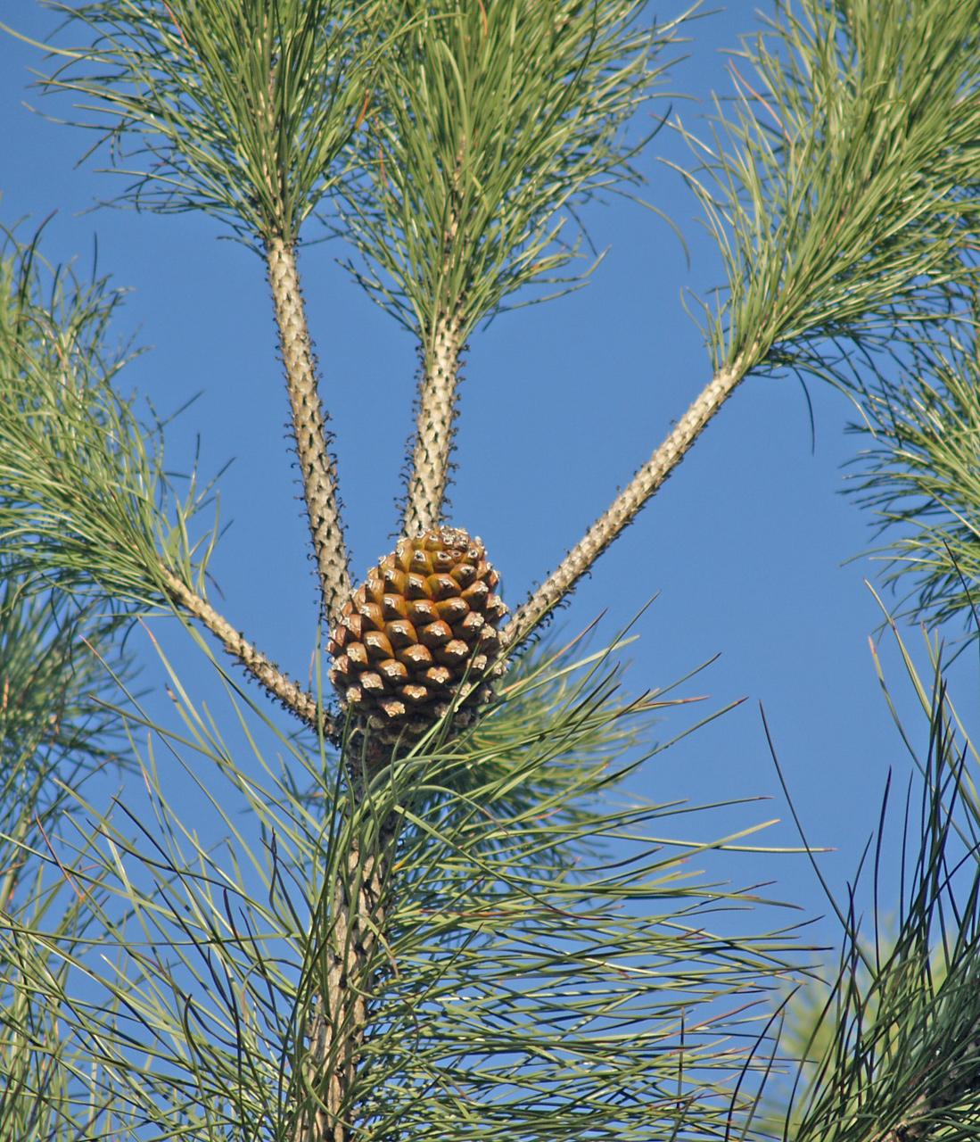 file pinus pinea conos 2 jpg wikimedia commons