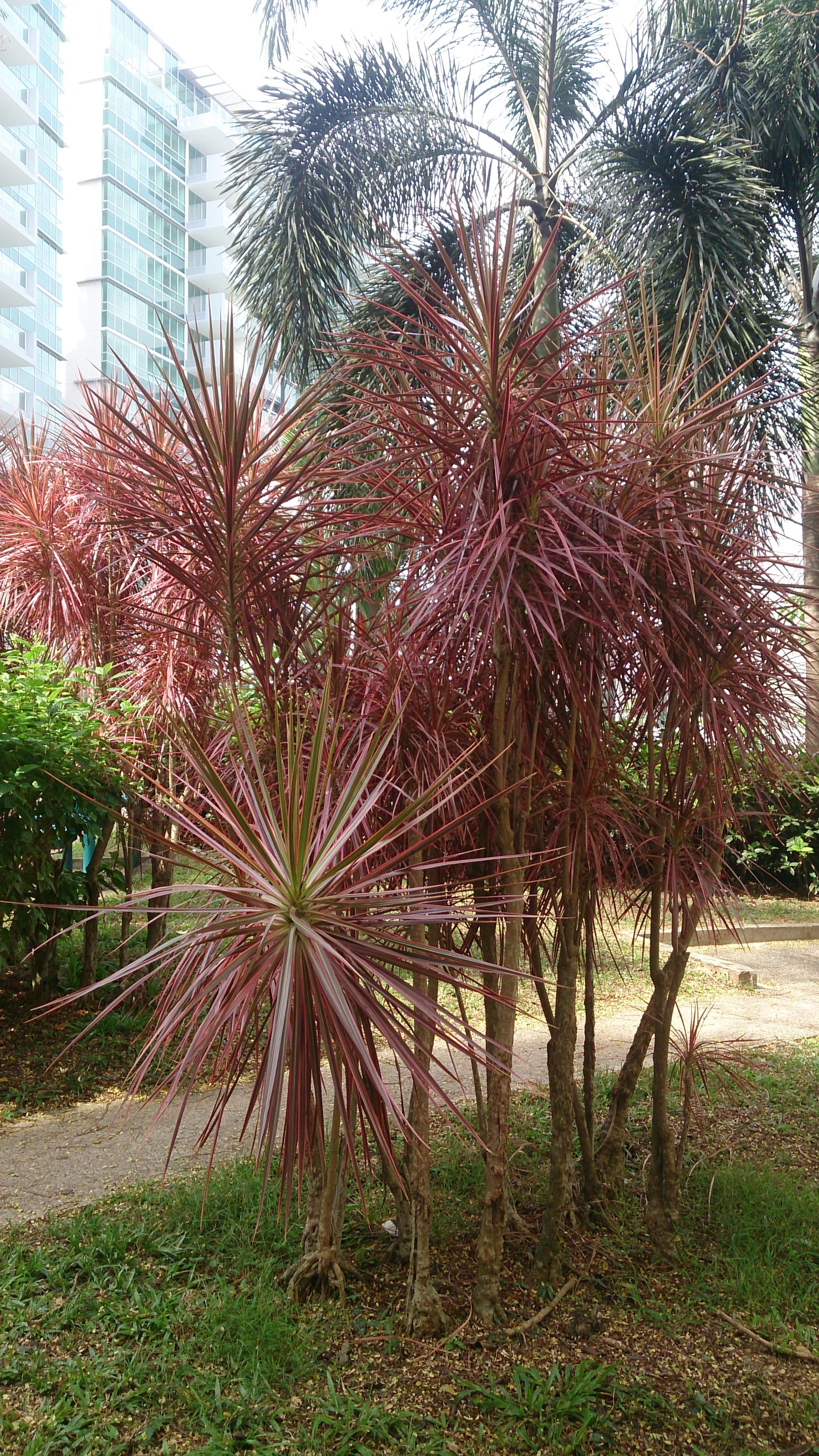 Type Of Tree File Rainbow Tree Dracaena Reflexa Var Angustifolia