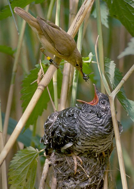 File:Reed warbler cuckoo.jpg - Wikipedia, the free encyclopedia