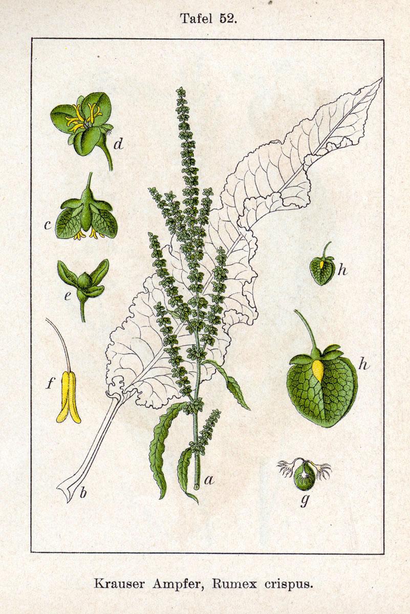 Plante de l'Hérault.3 (rumex) Rumex_crispus_Sturm52