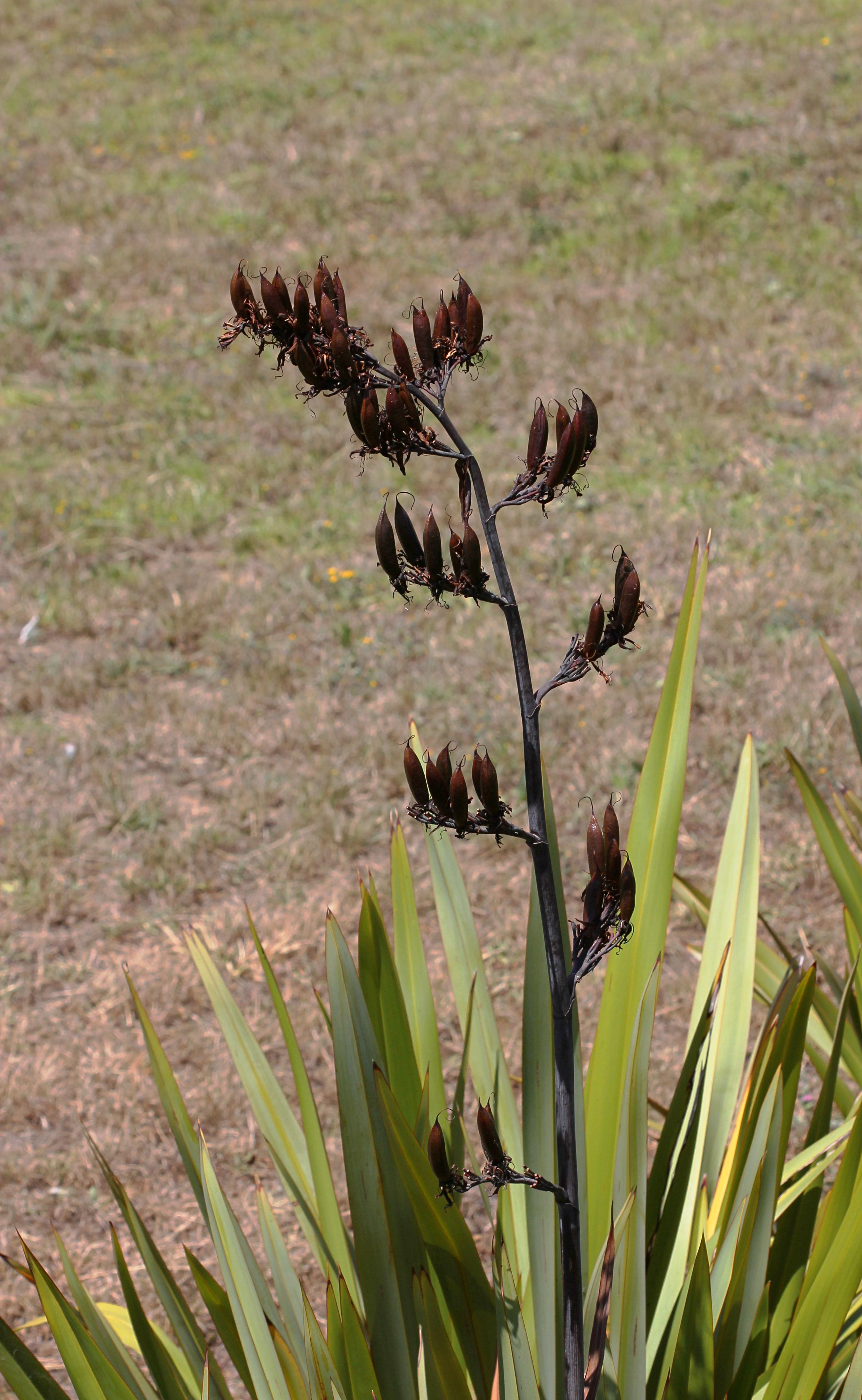 File:Seed pods of New Zealand flax (Phormium tenax) T2i ...