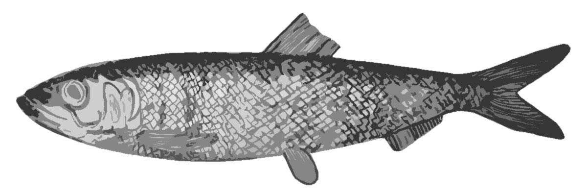 Silakka on suosittu joulukala, tekijä: Arto Alanenpää, annettu julkiseen käyttöön
