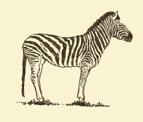 zebra drawing - photo #41