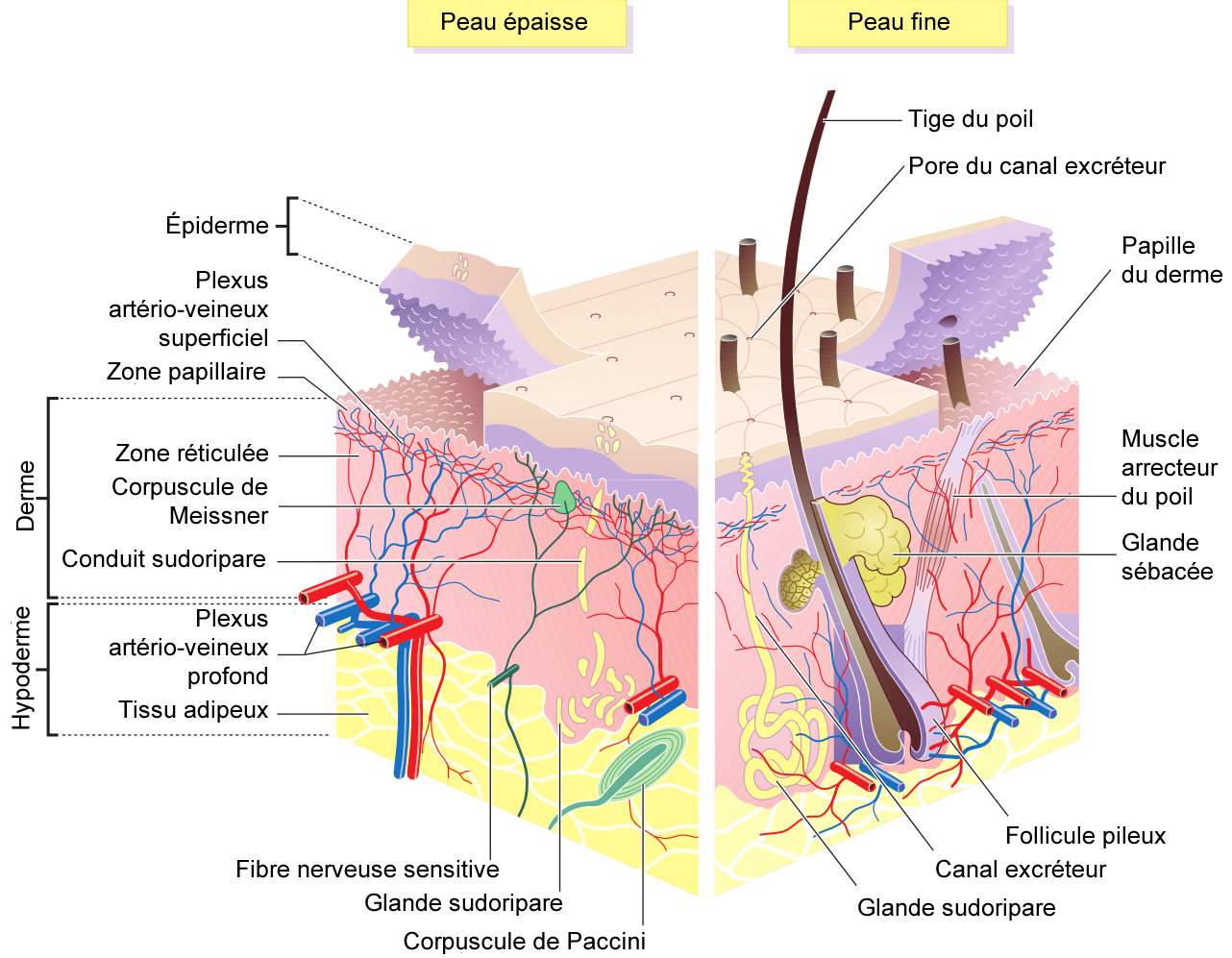 French version of the english https://commons.wikimedia.org/wiki/File:Skin_layers.png