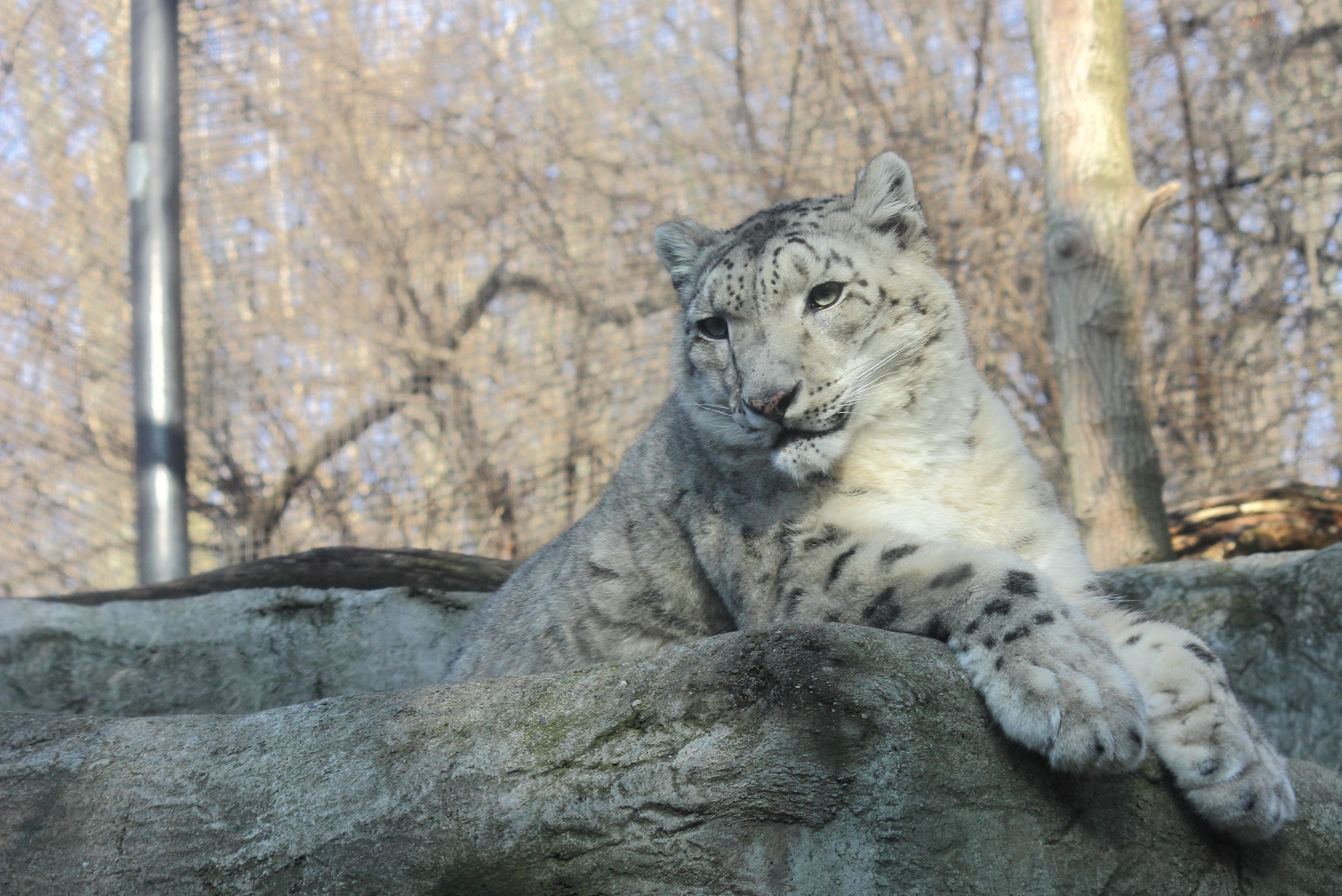 file snow leopard at pittsburgh zoo 2012 02 17 jpg wikimedia commons