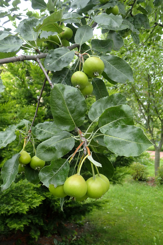 File:Sorbopyrus multifolia kz1.jpg