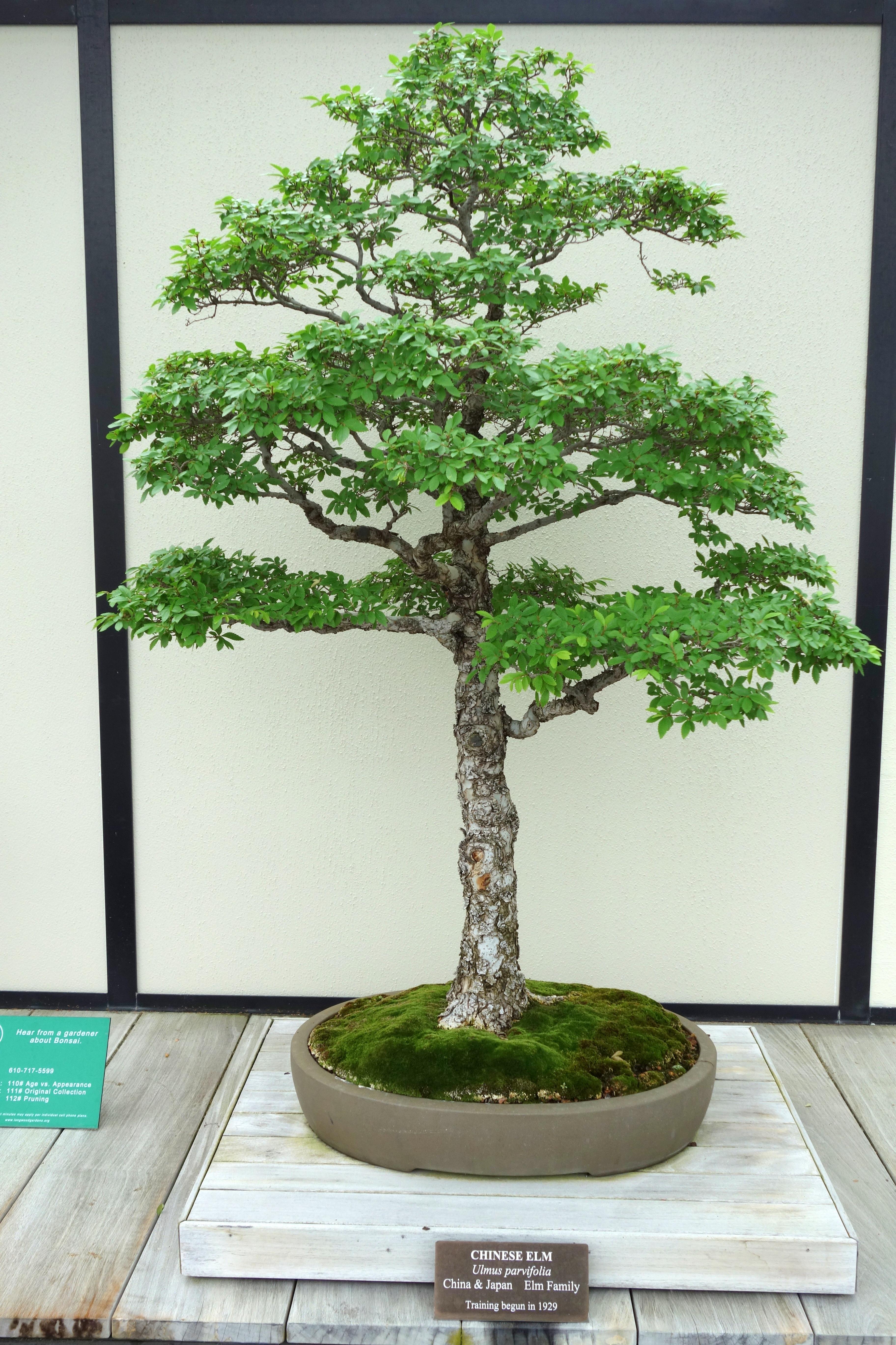 File Ulmus Parvifolia Bonsai Longwood Gardens Dsc01263