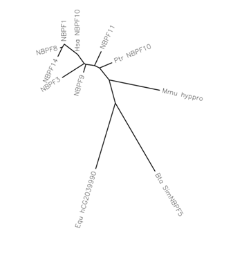 NBPF10 paralogs and orthologs unrooted phylogenetic tree