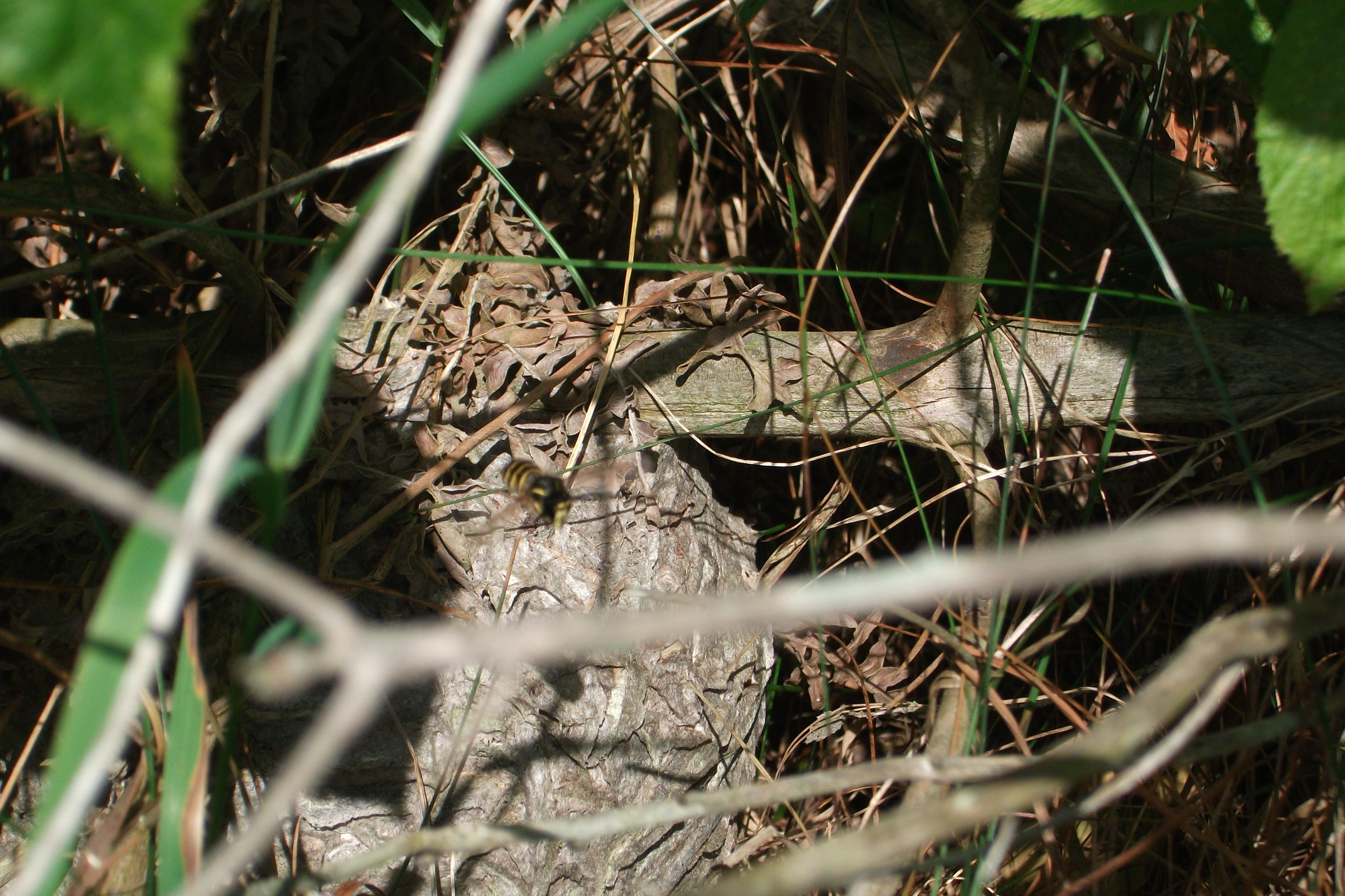 wasp nest in ground - HD3664×2442