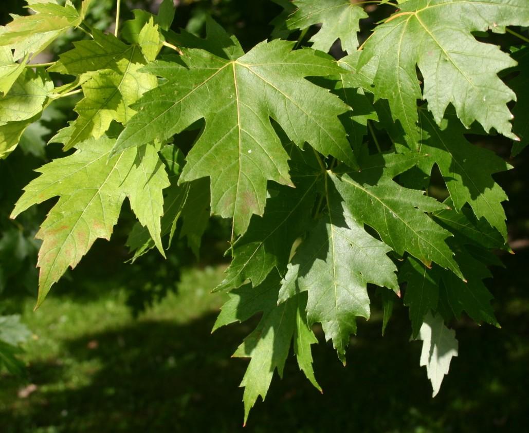 File acer saccharinum leaves wikipedia - Arce arbol variedades ...