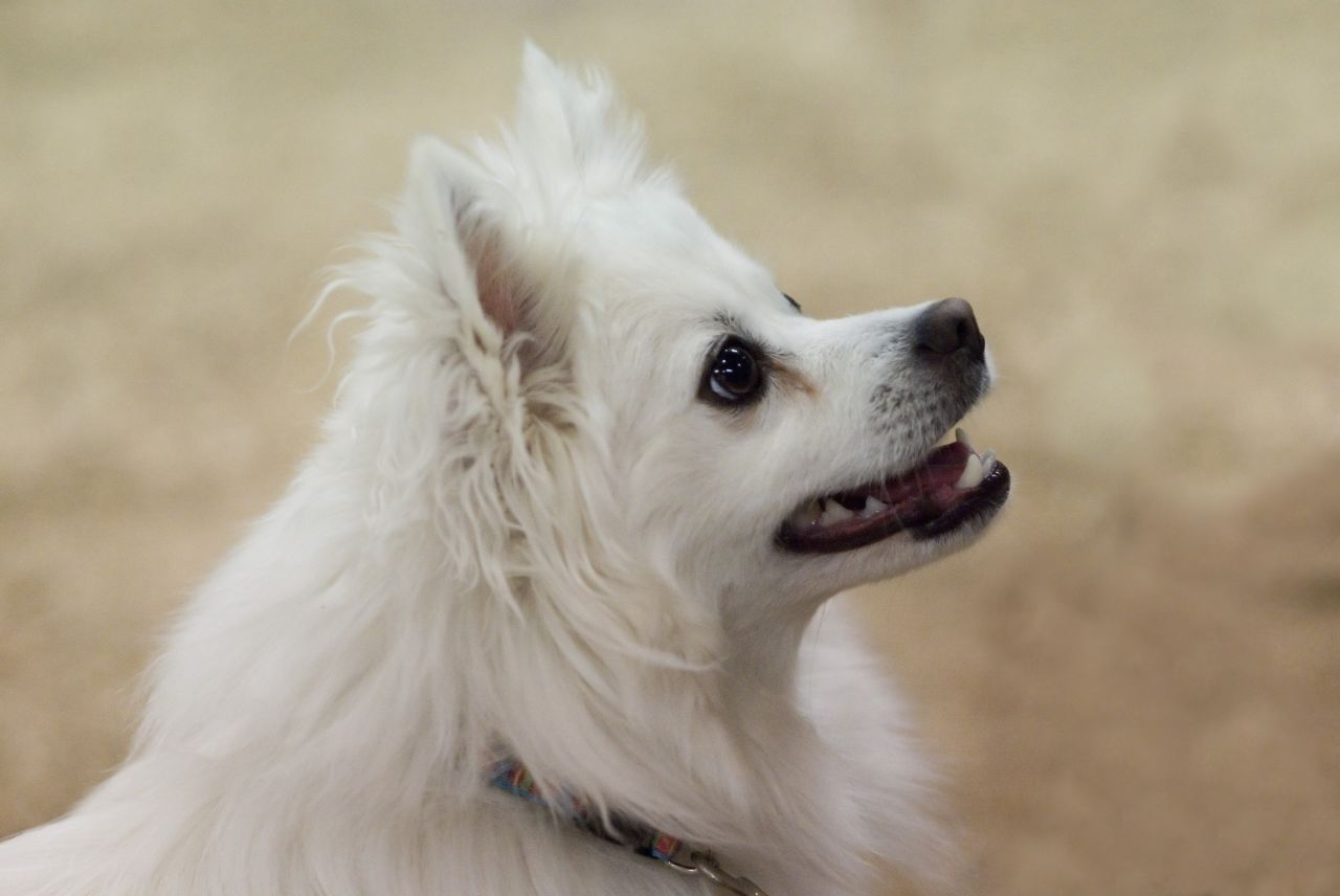 American Eskimo Dog Breed Information and 30+ Photos ...