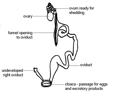 Anatomy and physiology of animals Female reproductive organs of a bird.jpg