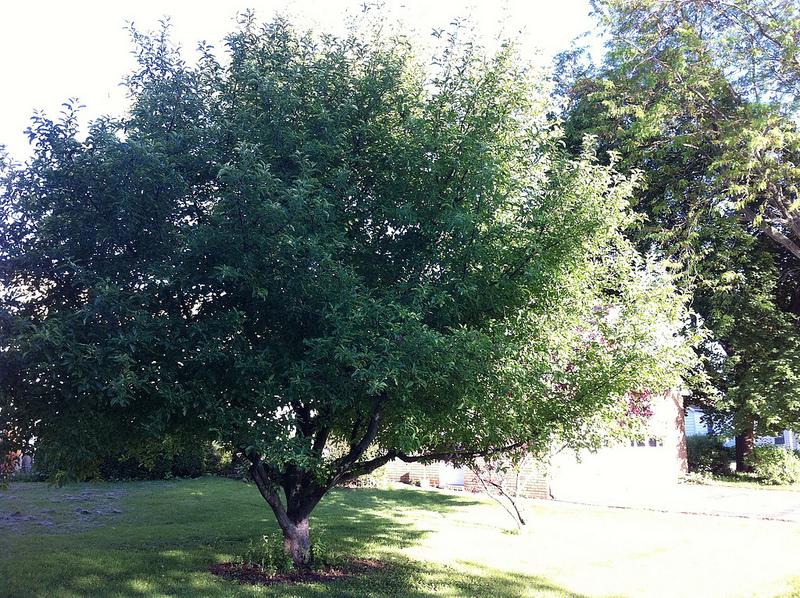 file apple tree in wikimedia commons