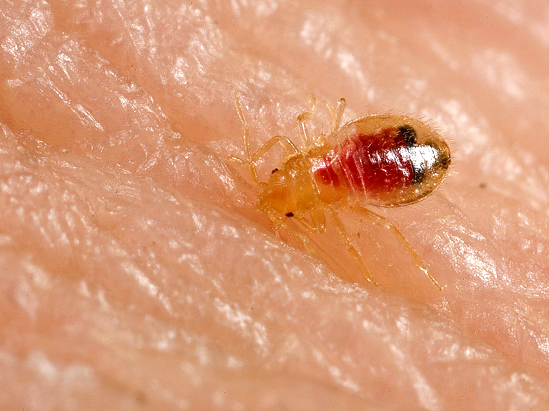Bed bug nymph, Cimex lectularius The Business of Bedbugs