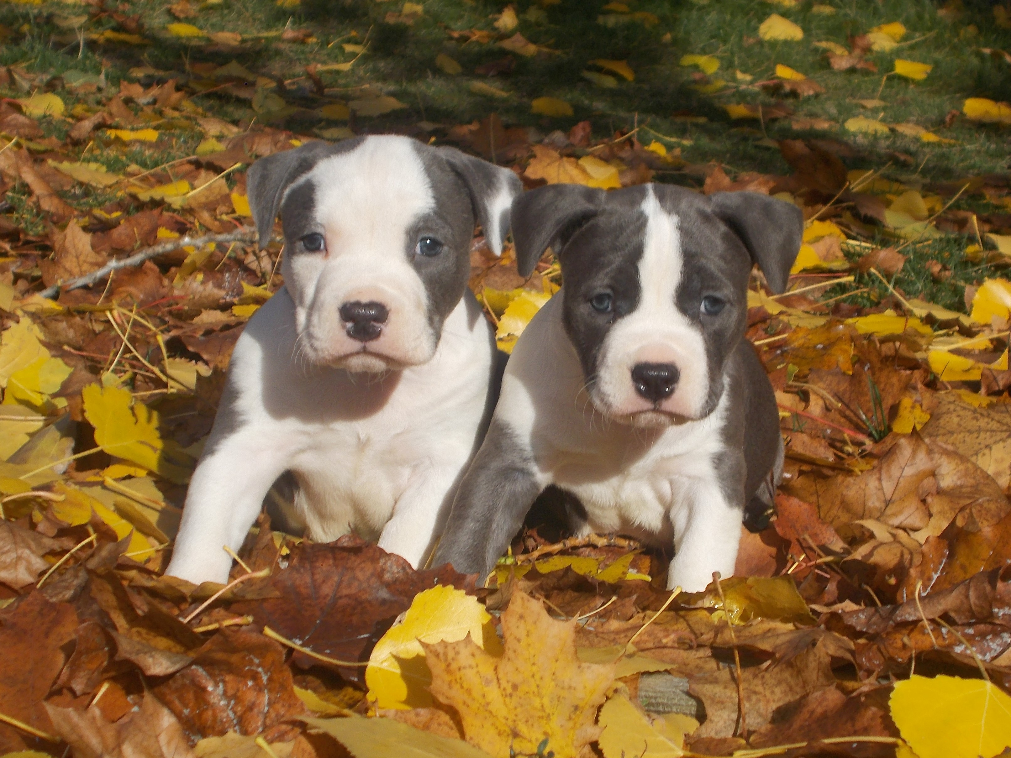 how to train a american staffy puppy