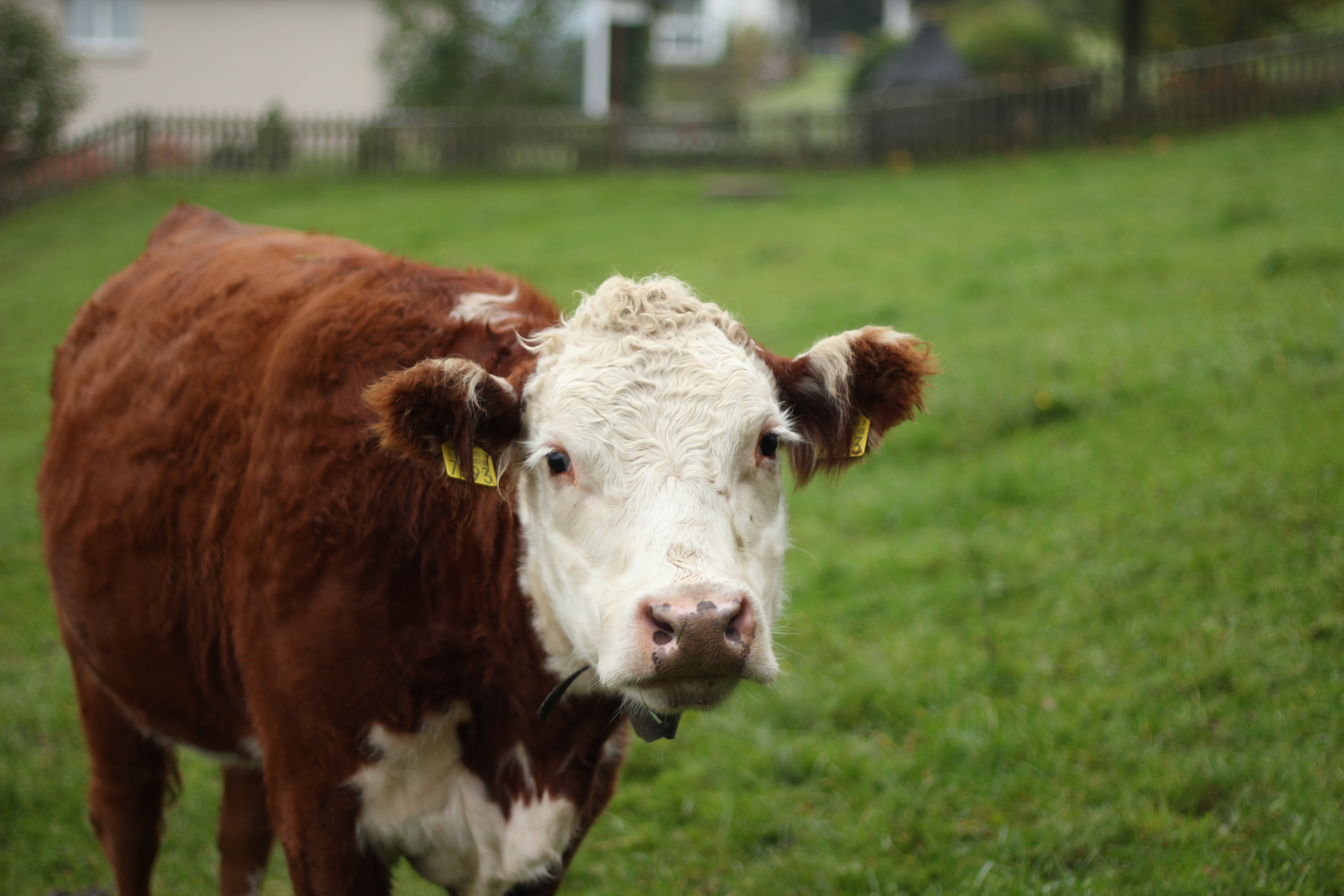 Braune Kuh mit weissem Kopf.jpg