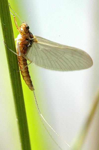 Caenis sp.