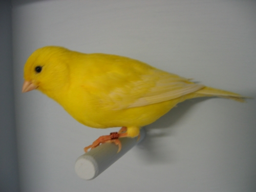 File:Canari jaune lipochrome intensif.jpg