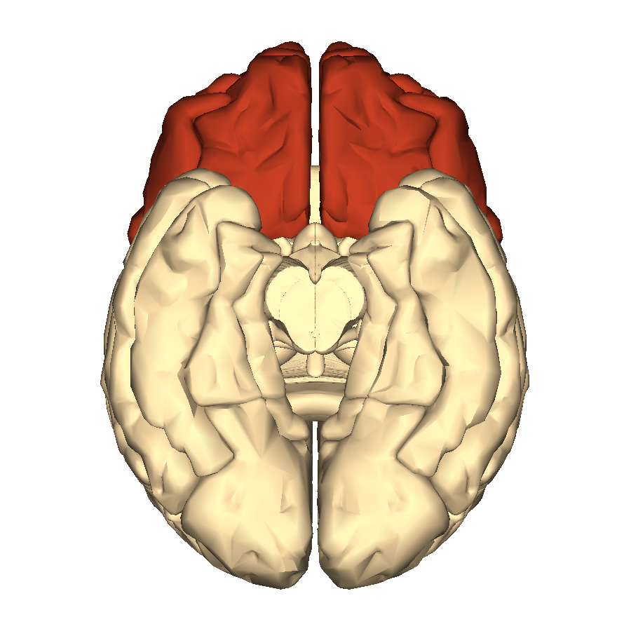 File:Cerebrum - frontal lobe - inferior view.png - Wikimedia Commons