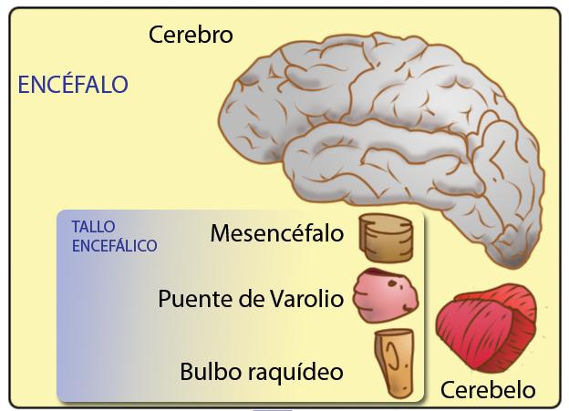 Unidad 8: Tronco encefálico - Anatomía del Sistema Nervioso y ...