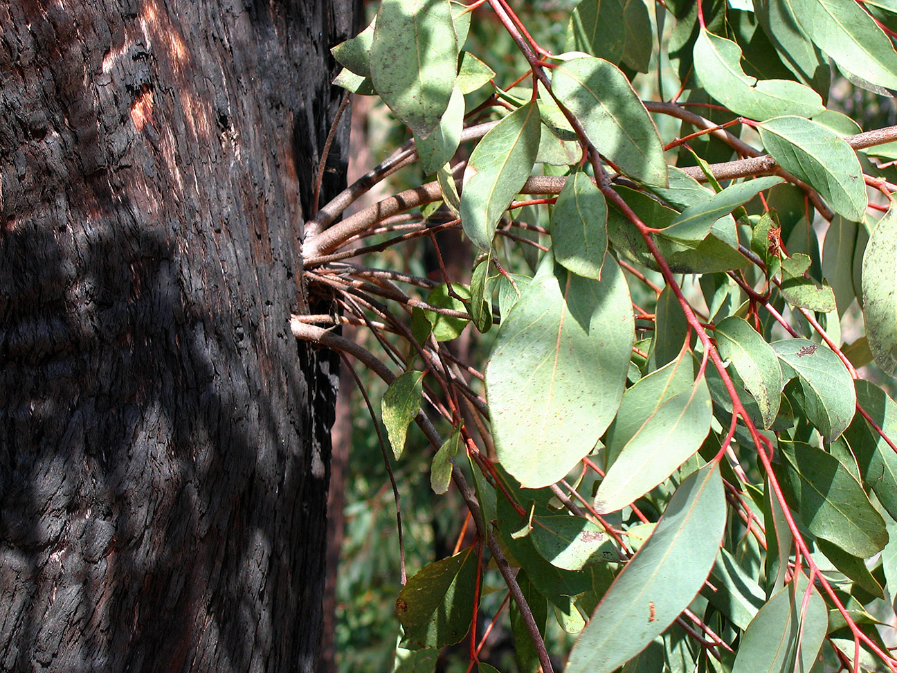 Epicormic Shoots from an Epicormic Bud on Eucalyptus following Bushfire 2, near Anglers Rest, Vic, Aust, jjron 27.3.2005.jpg