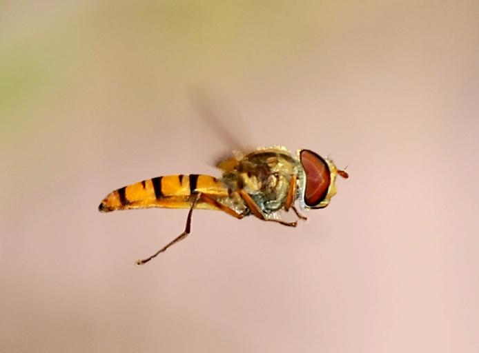 Letiaca pestrica