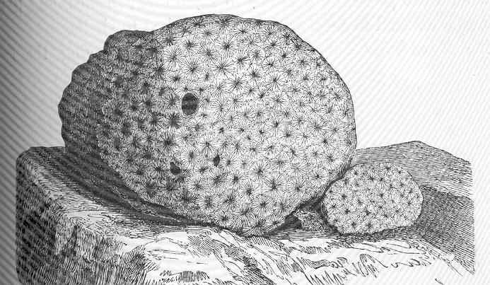 File:FMIB 50078 Astrea punctifera (Lamarck).jpeg