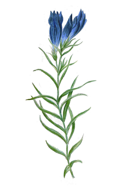 Gentian, Flores de Bach