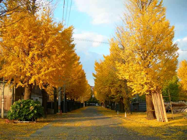 File:Ginkgo-trees-Uji-kousakusho 02.JPG