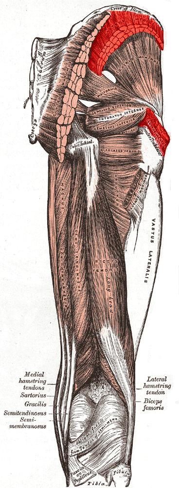 Gluteus Medius Muscleg