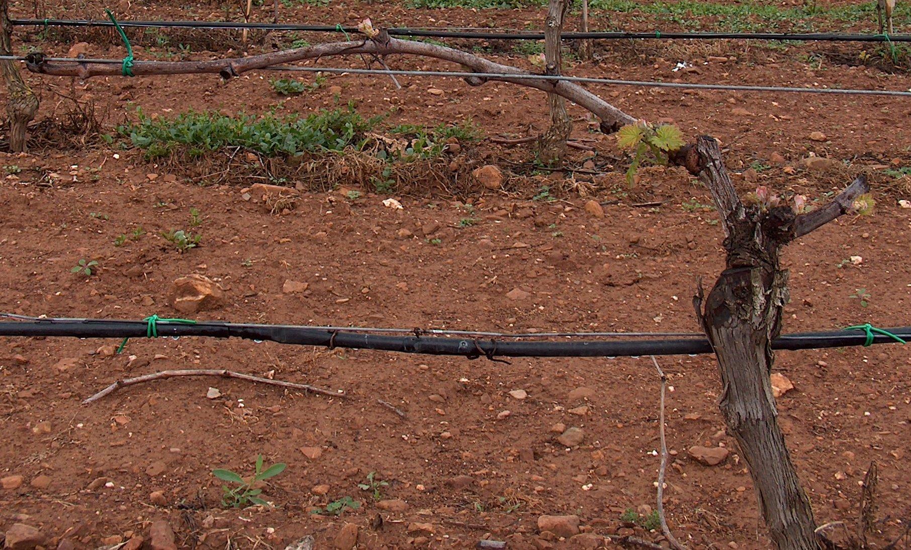 Forme di allevamento della vite wikipedia - Potatura vite uva da tavola ...