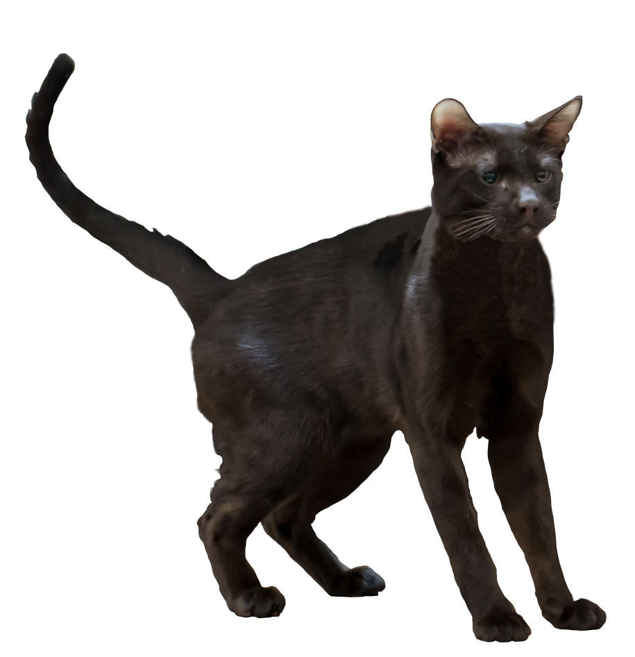 Kot hawański