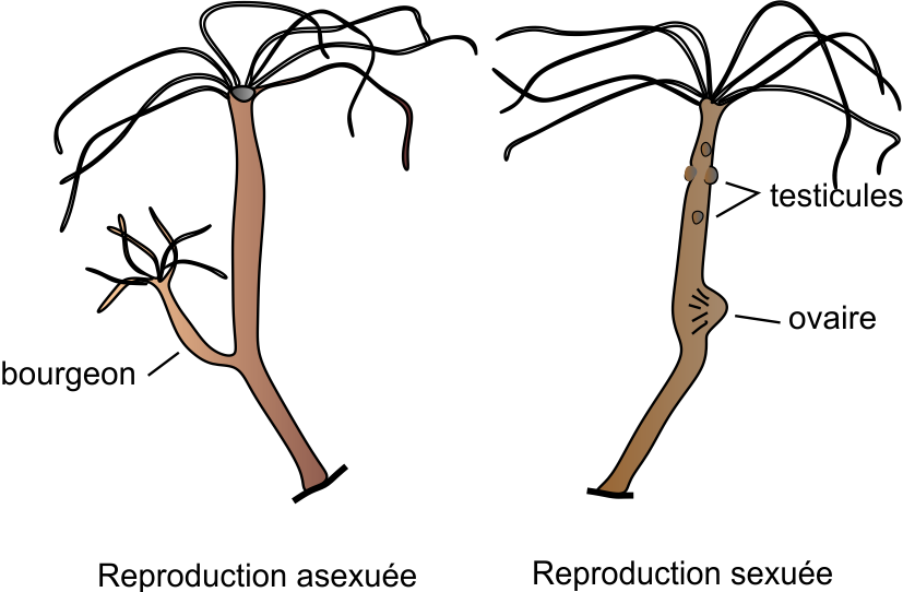 file hydra reproduction png