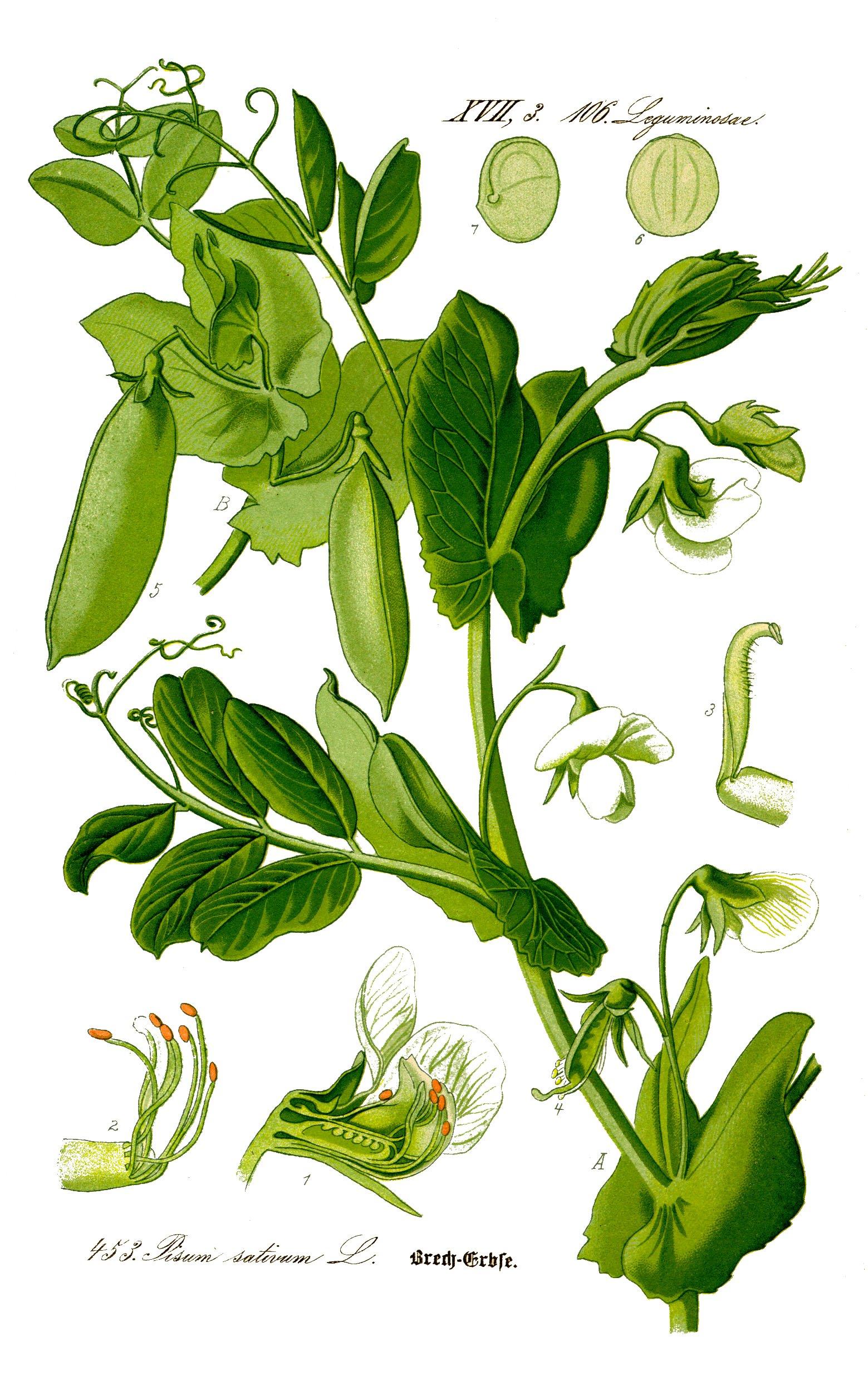 Depiction of Pisum sativum
