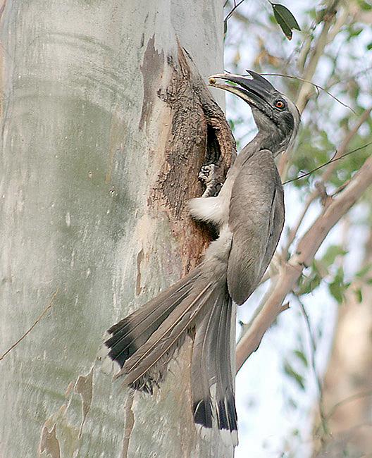 Indian grey hornbill - Wikipedia